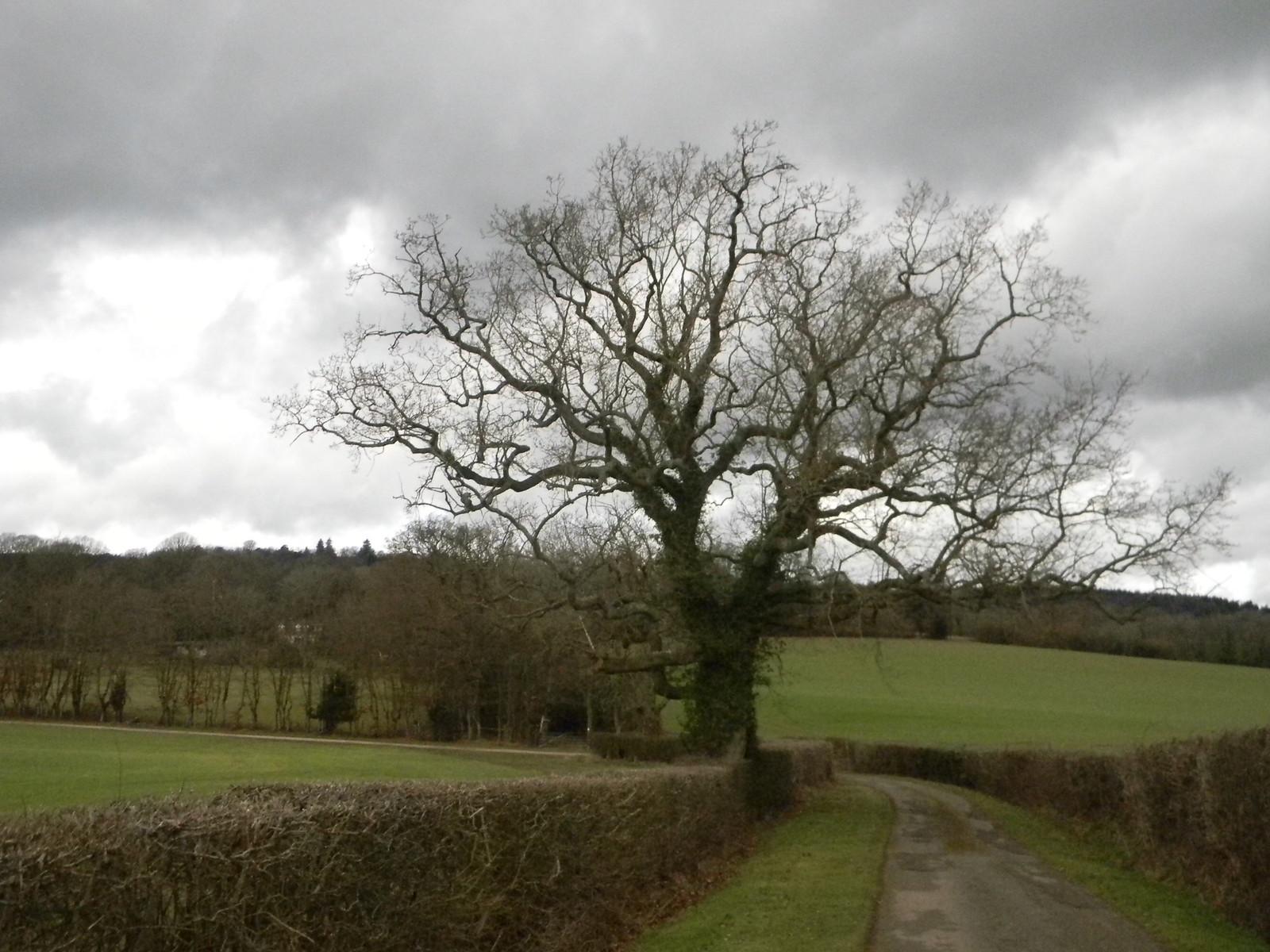 Big tree with hedge Holmwood to Gomshall