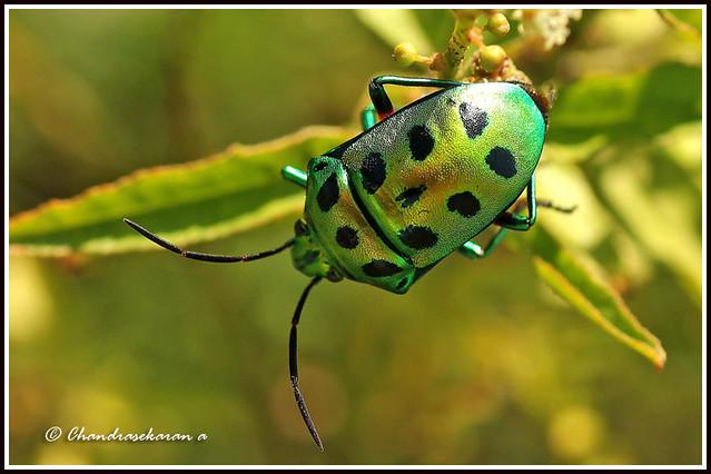 2074 jewel bug -