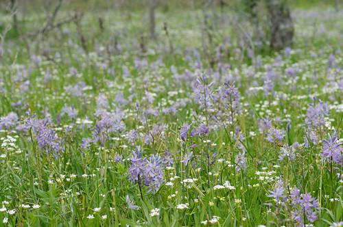 blue flower bulb fragrant glade camassia geophyte camassiascilloides atlanticcamas shalebarren
