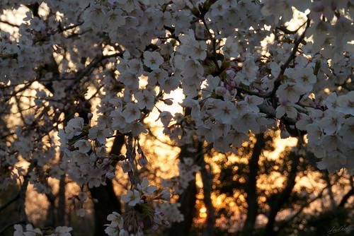 japan lumix evening spring sakura toyama 2014 m43 kureha gx1 呉羽山展望台 夕暮れ桜