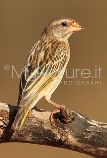 Red-billed Quelea (Quelea quelea) | by Riccardo Cesari