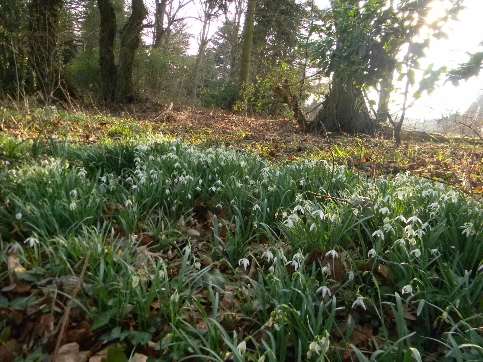 Snowdrops Robertsbridge to Battle