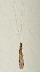 Caddisfly (Trichoptera)