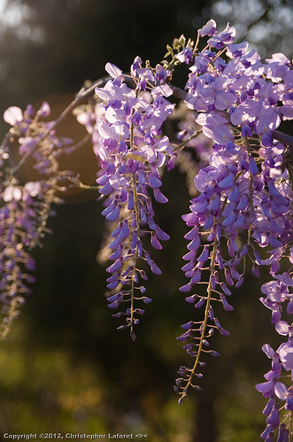 flowers purple wisteria lateeveninglight nikond700