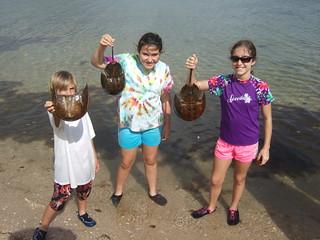finding horseshoe crabs