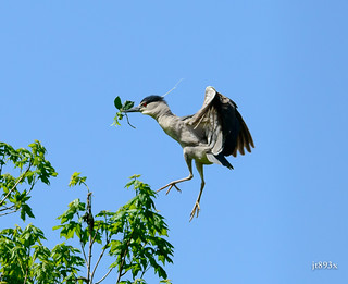 Black-crowned Night-Heron | by jt893x