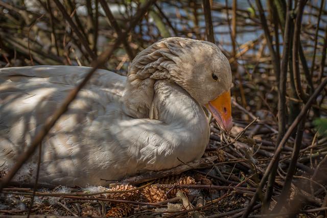 Building her nest
