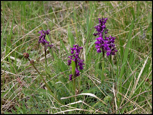 Orchis morio -orchis bouffon (2) | by Neira Magic'B
