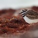 Flickr photo 'killdeer' by: qmnonic.