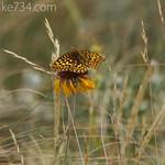 Butterfly on Gaillardia