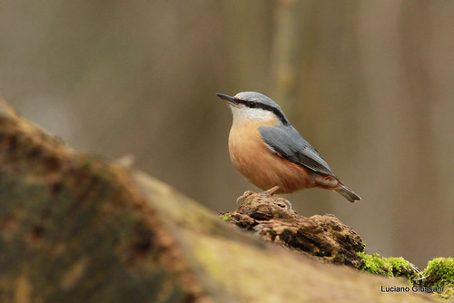 Sittelle torchepot Sitta europaea - Eurasian Nuthatch | by Le poidesans