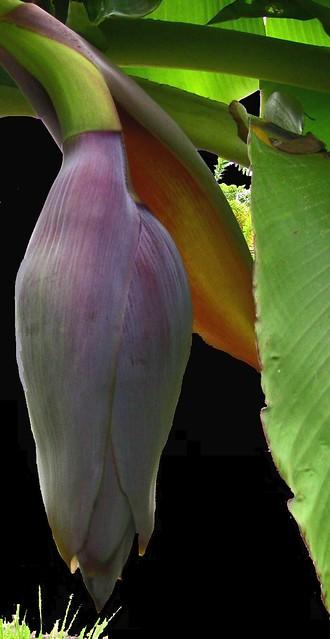 Thailand , Bananenblüte  , 0/1096
