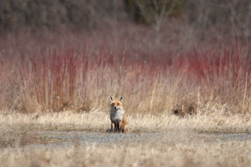 Red Fox | by Birding In New Jersey