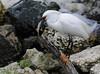Snowy Egret (Egretta thula) by ehsimons