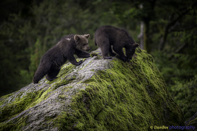 Bear Cubs discovering the World