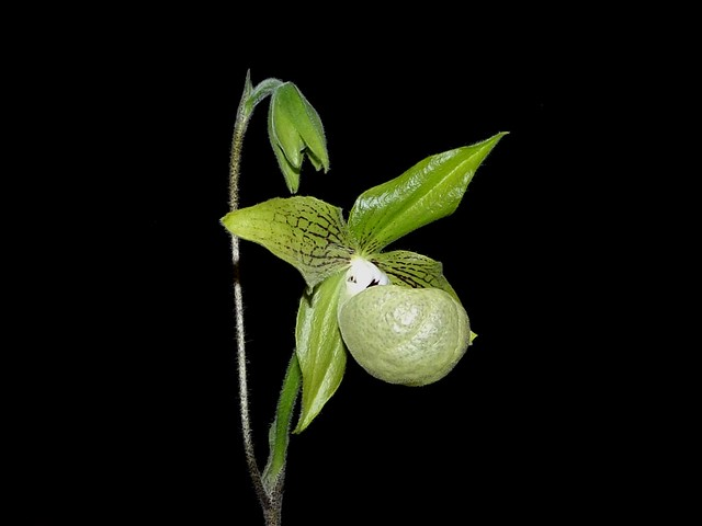 Paphiopedilum malipoense