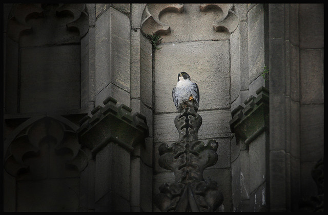 Peregrine Falcon  Manchester 1st July 2011 077