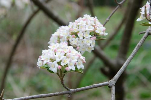 Viburnum x burkwoodii, Burkwood viburnum | by scadwell