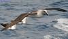 Grey-headed Albatross DSC_0063 by Mary Bomford