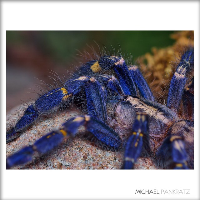 Poecilotheria metallica sub-adult female, Gooty Sapphire Ornamental