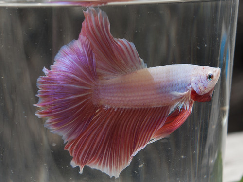 Pastel Betta | by heatharcadia