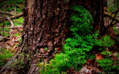 tree green forest lycopodiumobscurum groundpine 52weeks2012