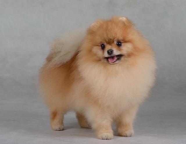 "Pomeranian Spitz ""Jake"""