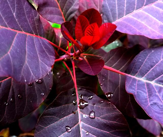 New Red Leaf Growth