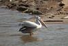 Pink-backed Pelican (Pelecanus rufescens) by Sergey Pisarevskiy