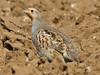 Grey Partridge, Fring - Inmere (Norfolk), 20-Feb-12 by Dave Appleton