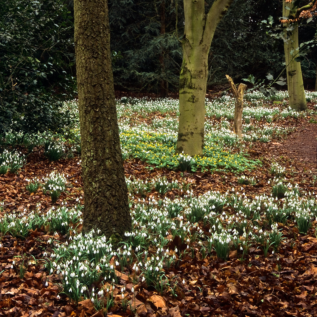 Carpets Of Snowdrops At Anglesey Abbey Gardens Cambridges Flickr