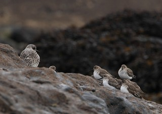 Grey Plover with Dunlins | by Cyclingrelf