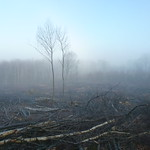 Misty coppiced coupe