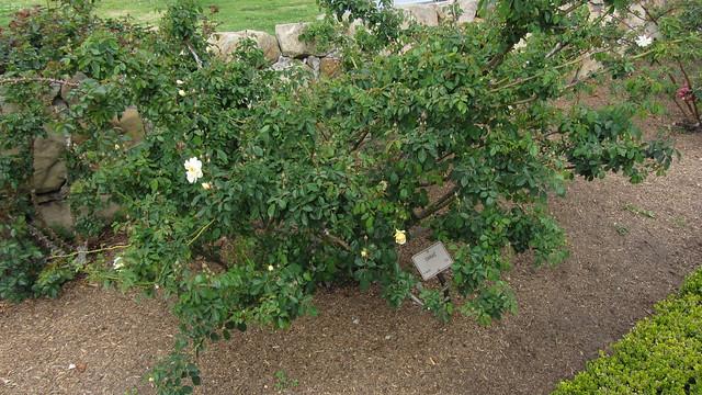 IMG_1558 Danae rose hybrid musk
