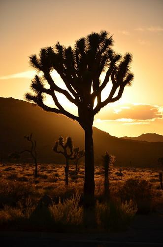 sunset usa sun tree nationalpark joshua joshuatree westcoast sunsetjoshuatree