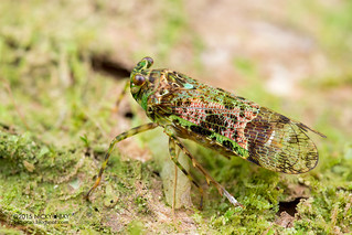 Planthopper (Hypaepa costata) - DSC_4612