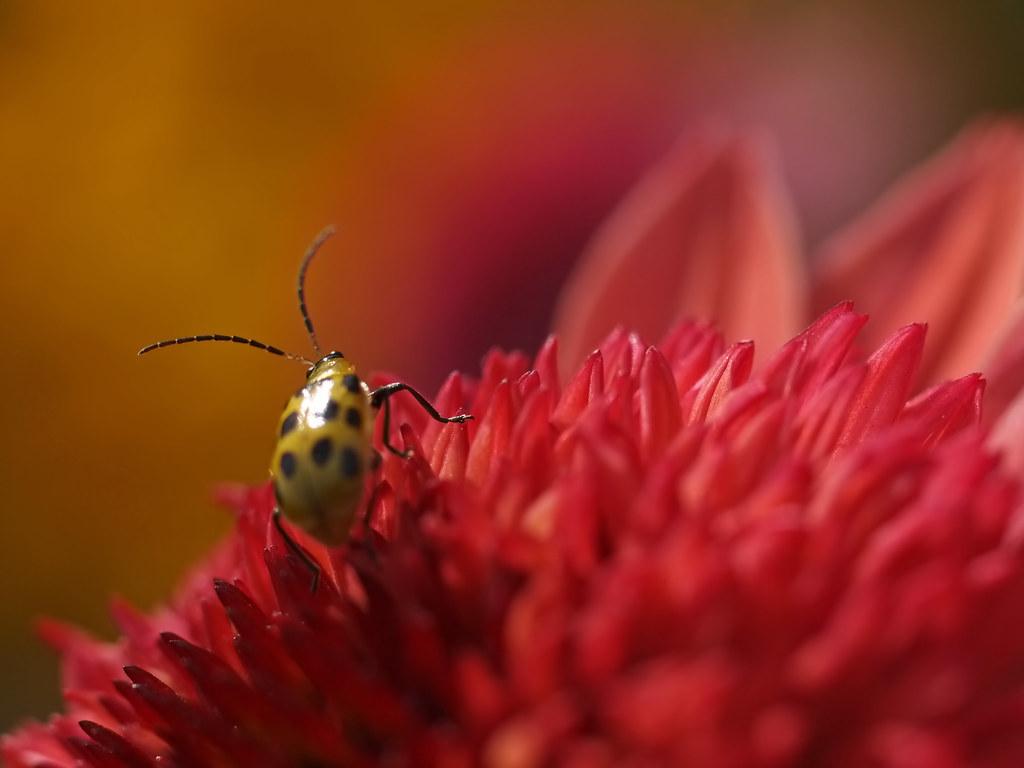 10 20 15 beetle mum 9 merrifield garden center fairfax - Merrifield garden center fairfax va ...
