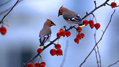 а birds_096