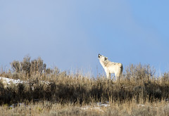 White Lady Howling for her Pack
