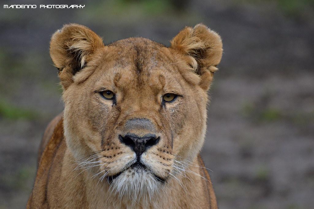 African lioness JJ - Olmense Zoo