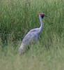 Brolga (Grus rubicunda) (1.4 metres tall; wingspan 2.2 metres) by Geoff Whalan