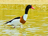Pato-branco // Common Shelduck (Tadorna tadorna) by Valter Jacinto | Portugal