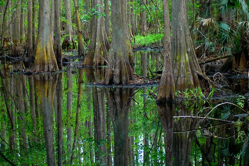 cypress swamp water trees florida ncmountainman nikon d70s phixe highlandshammockstatepark nationalgeographic lowresolutionversion