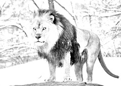 Photoshop converted drawing of a Lion