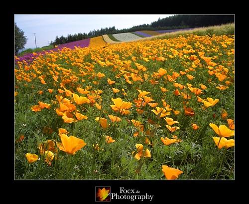 japan rural landscape hokkaido casio 北海道 fields agriculture 畑 exz57 nakafurano 中富良野