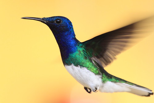 White-necked Jacobin | by Peter Burke