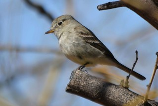 Gray Flycatcher | by Linda Bushman