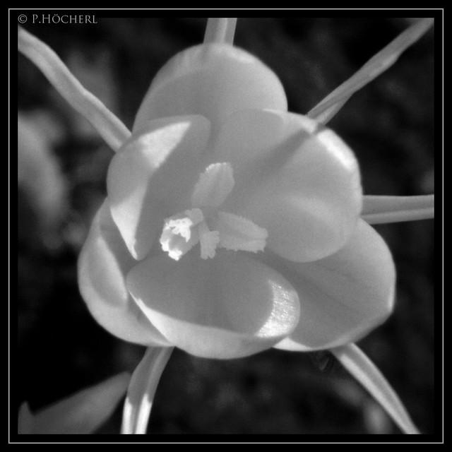 Frühlingsbote infrarot