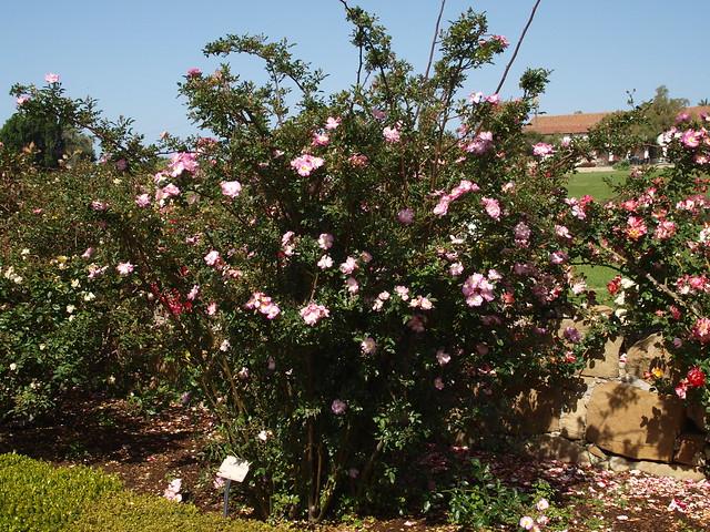 L5063528 Ausonius rose