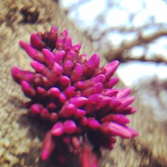 #flowers #buds #tree #redbuds